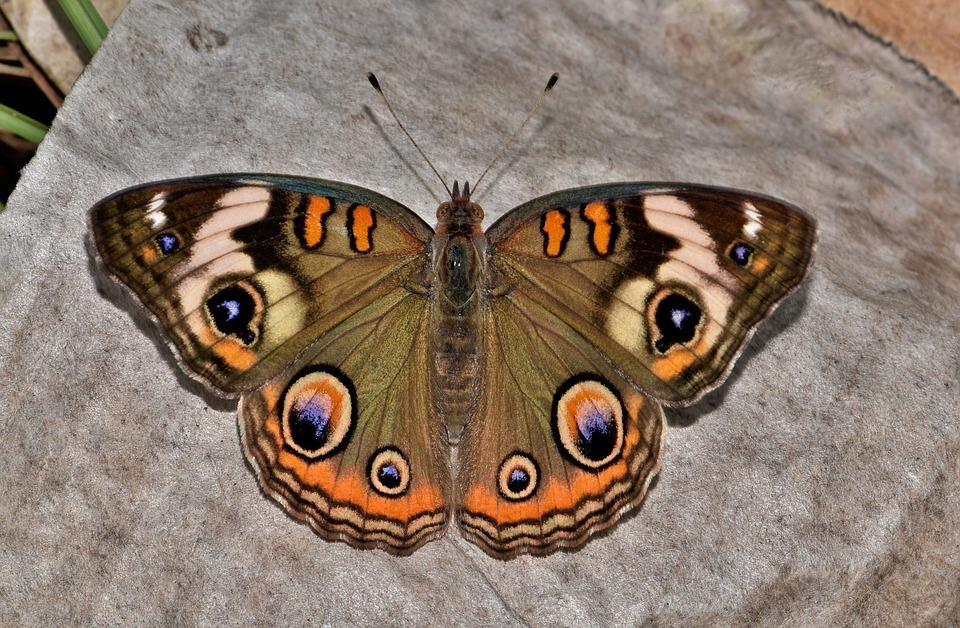 butterfly-1612180_960_720