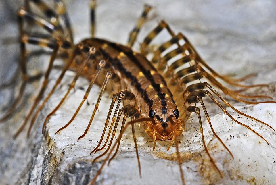 centipede-562036_960_720