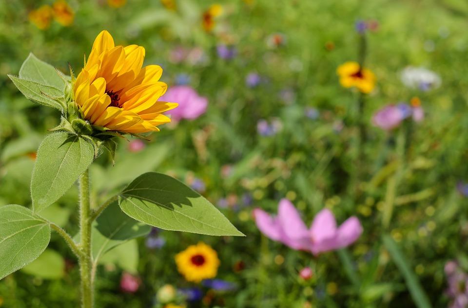 sun-flower-1656994_960_720