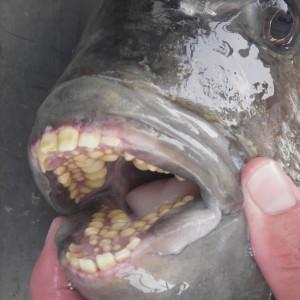 Sheepsheads fish